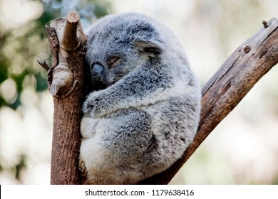 the koala is up in a tree sleeping