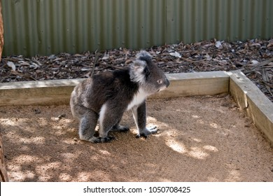 the koala is walking along the ground going from tree to tree