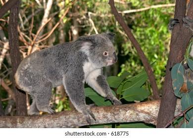 Koala walking on branch