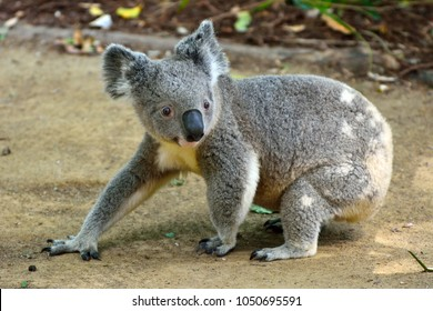Koala walking on the ground in Queensland, Australia.