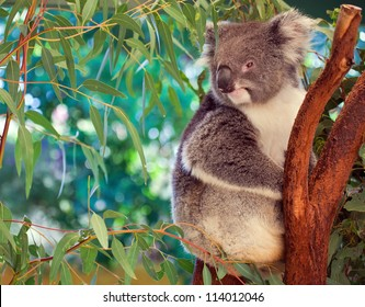 Koala,  western Australia