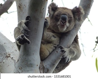 Koala in the wild on Stradbroke Island