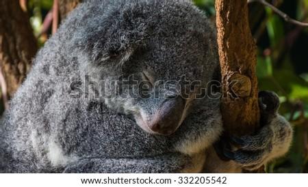 Koalas Australia Stock Photo (Edit Now) 332205542 - Shutterstock