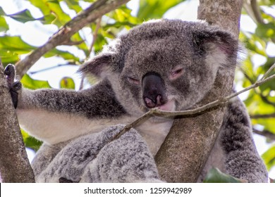 Koalas are native to Australia, this one is relaxing in their favourite gum tree.