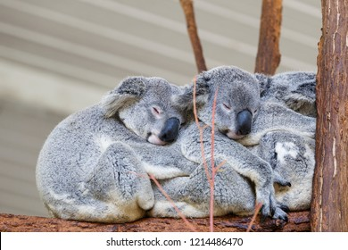 Koalas sleeping , Brisbane