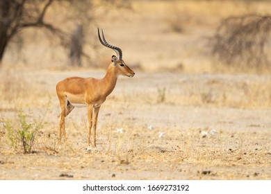 The kob (Kobus kob) is an antelope found across Central Africa and parts of West Africa and East Africa.