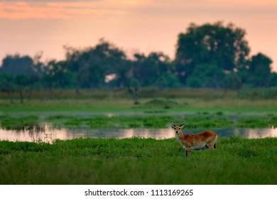 Kobus vardonii, Puku, animal walking in the water during morning sunrise. Forest mammal in the habitat, Okavango, Botswana. Wildlife scene with deer from African. nature. Rare antelope.