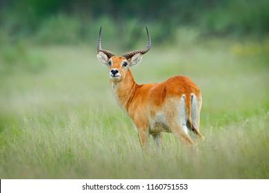 Kobus vardonii, Puku, animal walking in the water grass during hot day. Forest mammal in the habitat, Okavango, Botswana. Wildlife scene with deer from African. nature. Rare antelope.