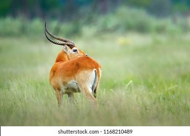 Kobus vardonii, Puku, animal walking in the water during hot day with blue sky. Forest mammal in the habitat, Okavango, Botswana. Wildlife scene with deer from African. nature. Rare antelope.
