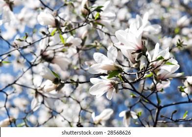 Kobushi Magnolia (Magnolia kobus)