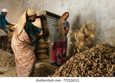 Kochi, India - January 16, 2016: Women working in spice selection factory in Kochi (Mattancherry). Local indian workers selecting ginger roots in Kerala famous for spices plantations.