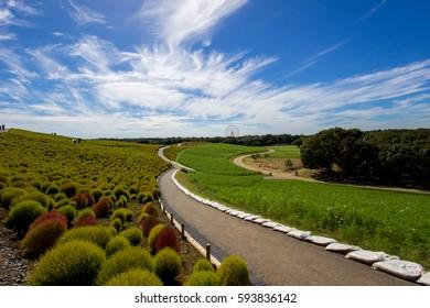 Kochia fields with beautiful sky  at Hitachi Seaside Park,Ibaraki,Japan