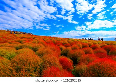 Kochia with hill landscape Mountain,at Hitachi Seaside Park in autumn with blue sky at Ibaraki, Japan