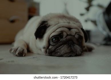 KOCHI,KERALA/INDIA - APRIL 28,2020: sad pug on the floor