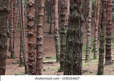 Kodaikanal is one of the largest pine forest of south India,  In 1906, with a view to growing valuable timber and pine plantations in the south-west of Kodaikanal. Pine woods used to make matchsticks