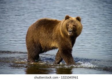 kodiak bear alaska