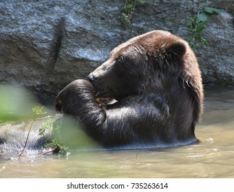 Kodiak bear bathing in the wild, holding a twig in its paws