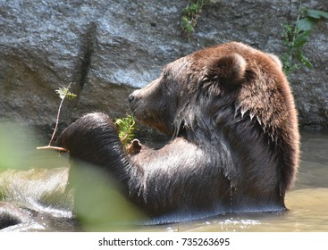 Kodiak bear floating on its back while taking a bath