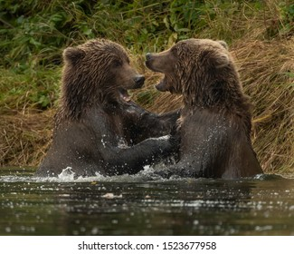 Kodiak bears at play, feeding, moving down the river in the fall.