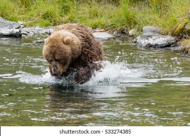 Kodiak brown bear chasing salmon in a river