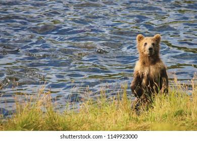Kodiak Brown Bear cubs playing near the river.