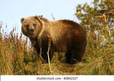 kodiak brown bear cup