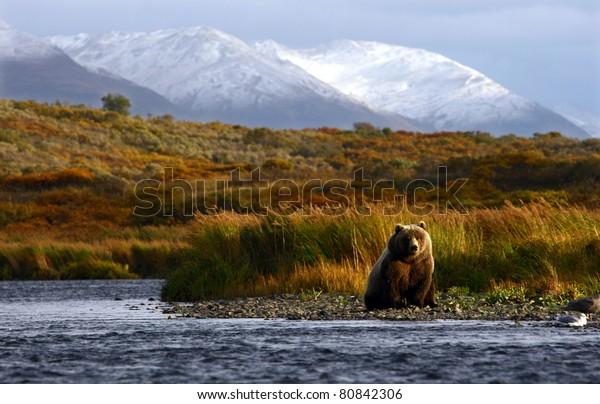 kodiak brown bear looking for salmon in the river