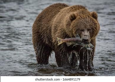 Kodiak Brown bear on kodiak island alaska in the summer