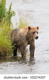 Kodiak brown bear standing in a river near shore