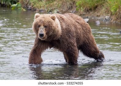 Kodiak brown bear walking through a river facing the camera