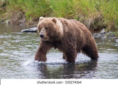 Kodiak brown bear walking through a river