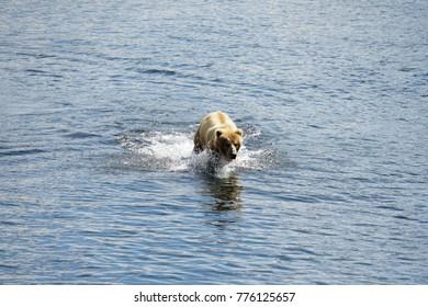 KOdiak Island Alaska Brown Bear and Bear Cubs at Frazier Lake Fishing for Salmon
