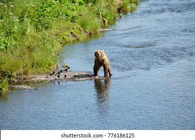 Kodiak Island Alaska Brown Bear and Cubs