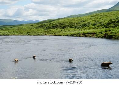 Kodiak Island Alaskan Brown Bears and Cubs Fishing for Salmon