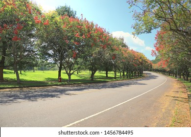 Koelreuteria elegans, more commonly known as flamegold rain tree or Taiwanese rain tree, is a deciduous tree 15–17 metres tall endemic to Taiwan. The curved road and the blooming street tree.
