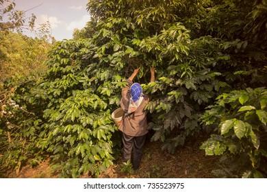 koffee plantation near the city of Chiang Rai in North Thailand, thailand, mae salong, november, 2016,