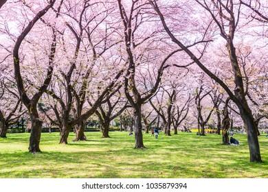 KOGANEI, TOKYO / JAPAN - APRIL 12 2017 : Scenery of Koganei Park where cherry blossoms are in full bloom in Koganei City, Tokyo.