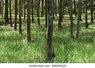 Koh Jum rubber tree plantation, Thailand