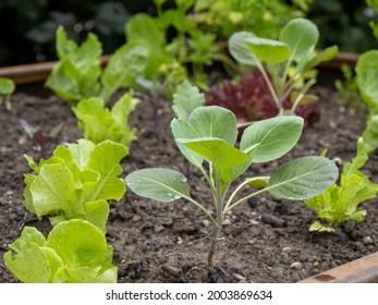 kohlrabi and lettuce seedlings after rain