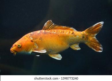 Koi carp (Cyprinus rubrofuscus), also known as the Japanese ornamental carp.