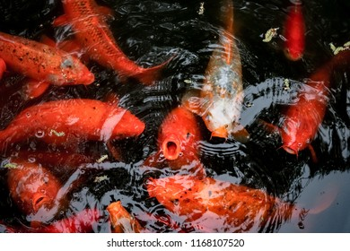 koi (carp) fish open his mouth trying to get some food in the fish pond