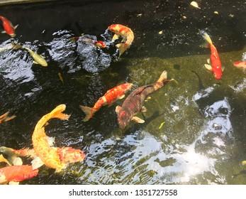 Koi carp fish swimming in a water  colorful japanese carp fish swimming in pond