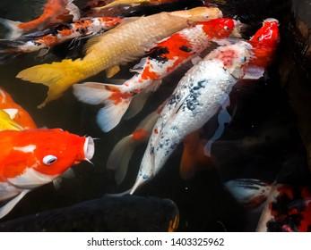 koi carps, blur carp fish backgrounds, blur colorful carp backgrounds, Group of colorful fancy carp fish swimming in pond garden