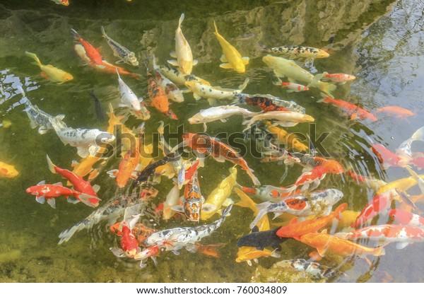 Koi Cyprinus Carpio Haematopterus Beautiful Colorful Stock Photo