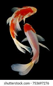 Koi fish fish, koi, animal, background, white, golden, carp, colorful, red