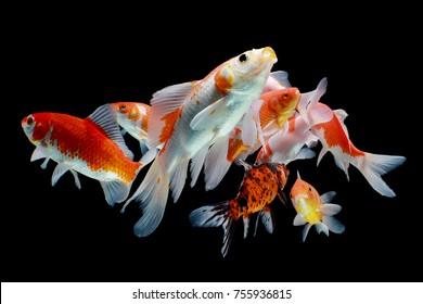 Koi fish, fish, koi, animal, white, background, carp, golden, red, isolated