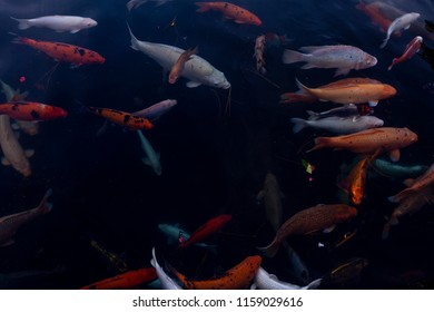 koi fish background