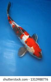 Koi Fish. Beautiful Koi Fish in fresh water on a blue background.