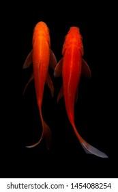 Koi fish blackground nature fish