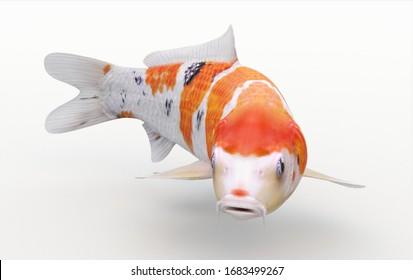 Koi Fish! Carp Japanese fish 70/80 centimeters long. Beautiful fish in orange, white colors.